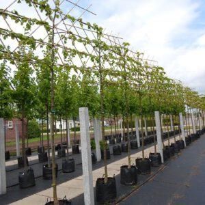 Bomen in pot, zomeraanplant