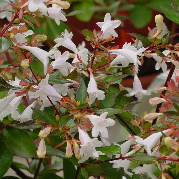 Abelia grandiflora DN091