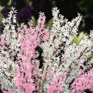 Abeliophyllum dist. 'Roseum'