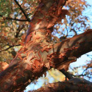Acer 'griseum' – Papieresdoorn