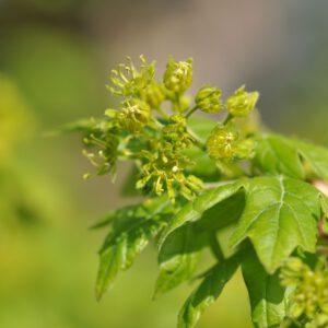 Acer campestre Fastigiatum
