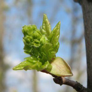 Acer campestre (veldesdoorn) 2