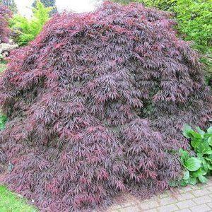Acer palmatum 'Dissectum' 2