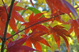 Acer palmatum 'Osakazuki' 2
