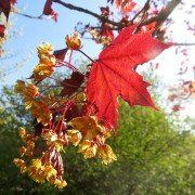 Acer plantanoides 'Royal Red' 2
