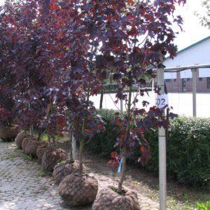 SadnicaAcer platanoides 'Royal Red' za letnju sadnju (busen obavijen tkaninom od kokosovih vlakana i navodnjavan sistemom kap po kap; sadnica ankerovana uz metalnu ¨ipku)