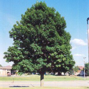 Acer plantanoides Emerald Queen (2)