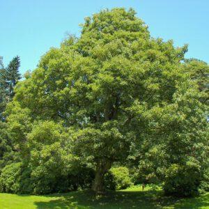 Acer pseudoplatanus Bruchum