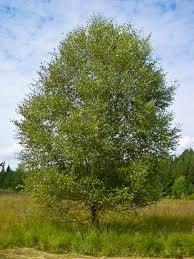 Betula pubescens