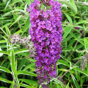 Buddleja d. 'Nanho Purple'