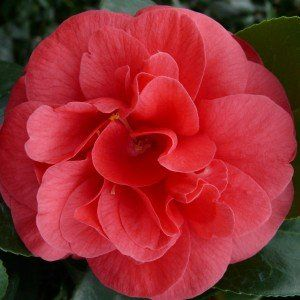 Camellia j. 'Lady Campbell'