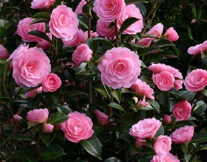 Camellia j. 'Tiffany'