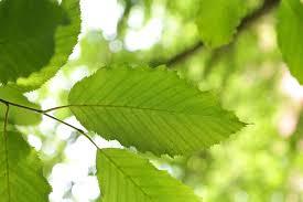 Carpinus betulus – Leivorm 2