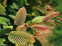 Carpinus betulus 'Purpurea' (2)