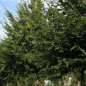 Carpinus betulus 'Purpurea' (3)