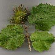 Corylus 'colurna' – Turkse hazelaar Boomhazelaar 2