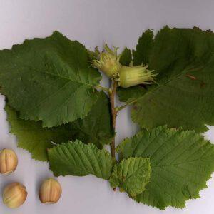 Corylus avellana (hazelnoot) 3