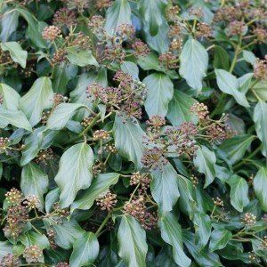 Hedera colch. 'Fall Favourite'