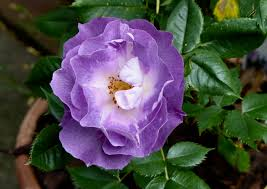 Rosa (F) 'Blue for You' 2