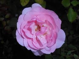 Rosa (F) 'Bonica' 2