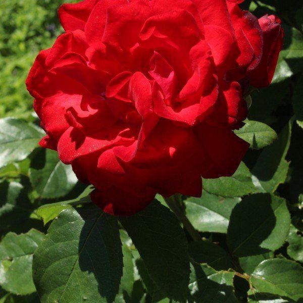 Rosa (F) 'Satchmo'
