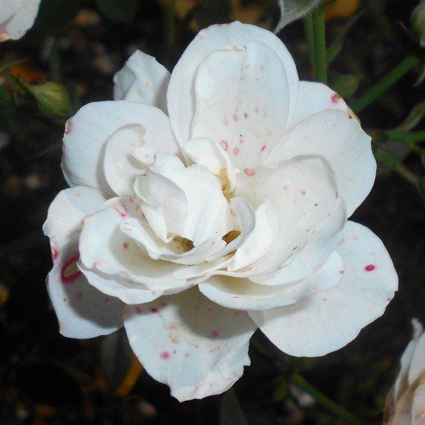 Rosa (H) 'Kent' 2