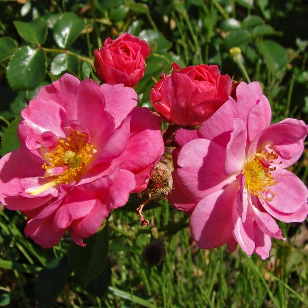 Rosa (H) 'Magic Meidiland'