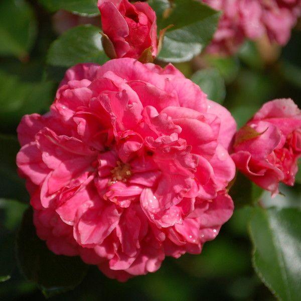 Rosa (H) 'Pink Swany'