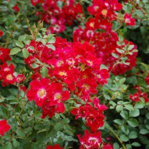Rosa (H) 'Red Meidiland' 2