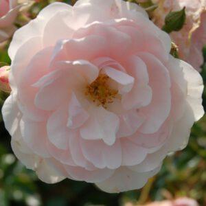 Rosa (H) 'Seafoam'