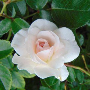 Rosa (H) 'Swany'