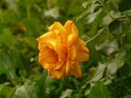 Rosa (P) 'Amber Nectar'