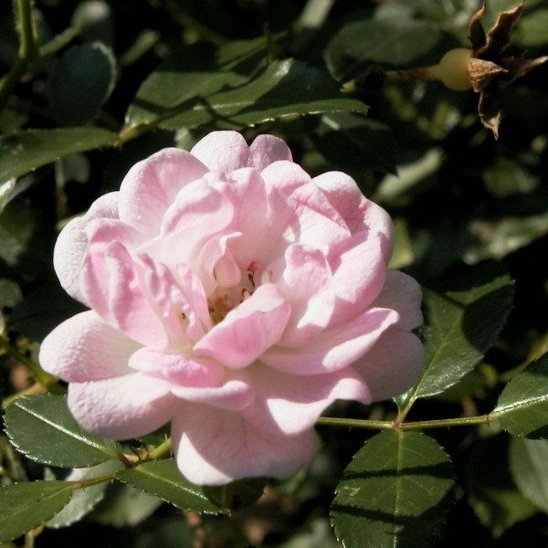 Rosa (P) 'The Fairy'