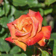Rosa (T) 'Bonfire'