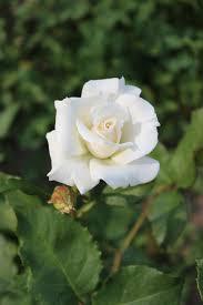 Rosa (T) 'Pascali' 2