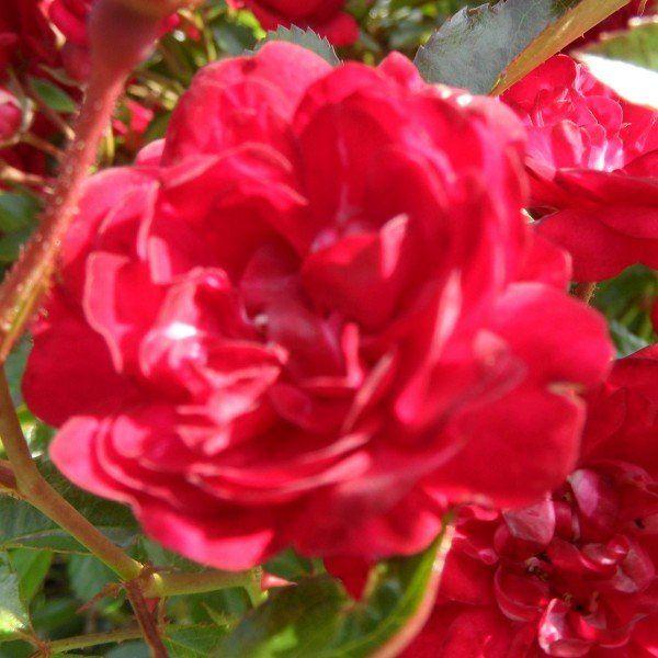 Rosa fairy king