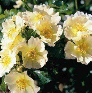 Rosa lemon meidiland
