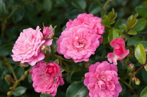 Rosa lovely fairy
