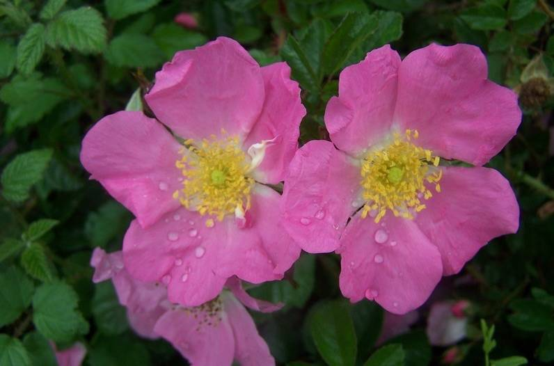 Bestel Rosa R Max Graf Voordelig Bij Plantenweelde