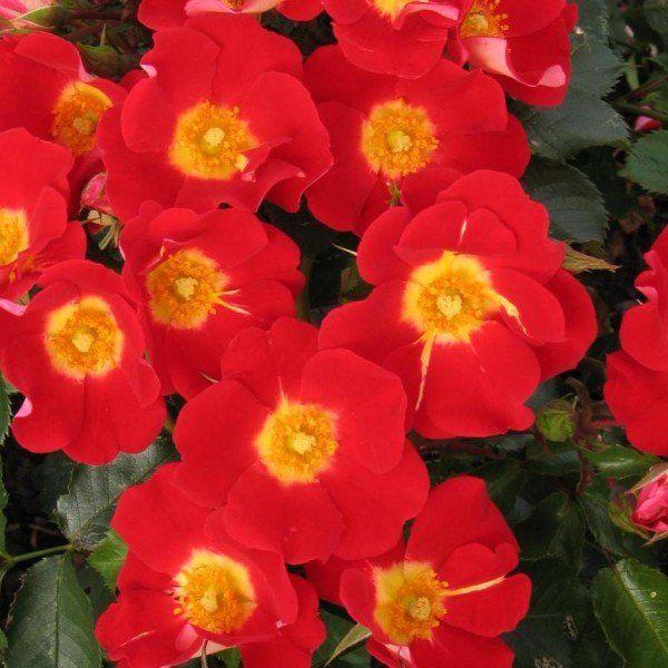 Rosa symphonica
