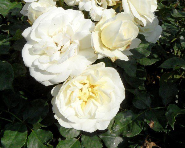 Rosa wedding rose