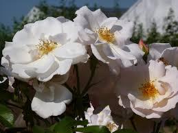 Rosa weimax