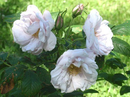rosa-schneekoppe