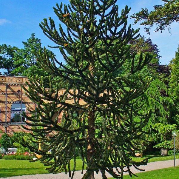 Araucaria araucana – Apenboom