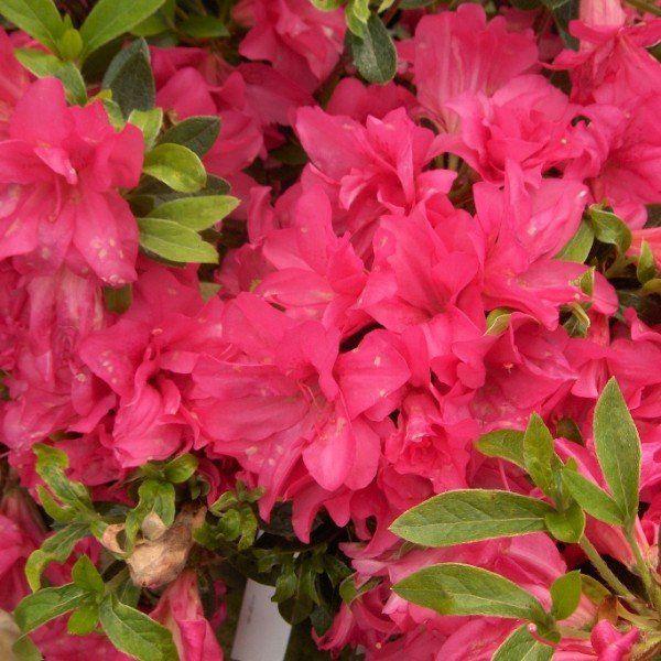 Azalea 'Blaauw's Pink'