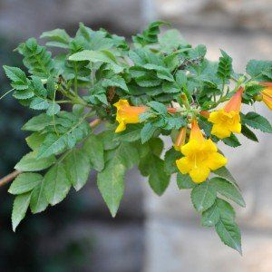Campsis radicans 'Yellow Trumpet""