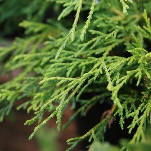 Chamaecyparis p. 'Sungold'