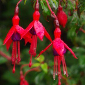 Fuchsia 'Riccartonii' 2