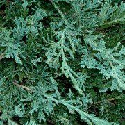 Juniperus 'Wiltonii' 2