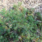 Juniperus com. 'Green Carpet'